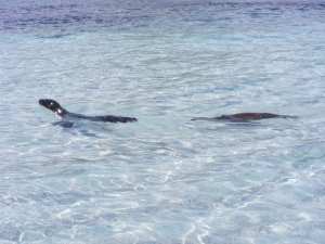 Baby Sea Lions Swimming in the Galapagos